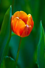 orange tulip on a green background