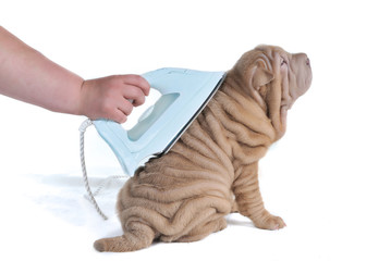 Wrinkled Puppy Being Ironed