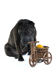 Dog Smelling Wooden Bycicle