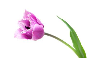 Fringed violet tulip Blue Heron