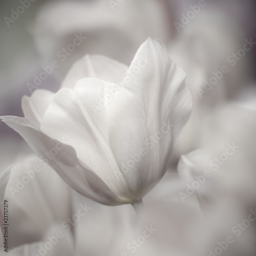 Fine art of close-up Tulips, blurred and sharp © Bas Meelker