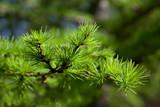 Fototapety Larch tree branch