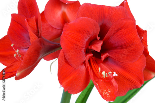 amaryllis passion