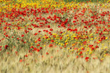 wildflower in tuscan countryside poster