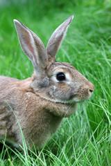 brown rabbit on a green grass.