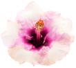 fleur rose pastel hibiscus, fond blanc