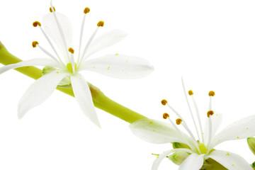 fleurs de phalangère, fond blanc