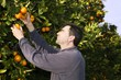 orange tree field farmer harvest picking fruits