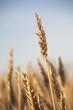 Rip Wheat, Central Alberta, Canada