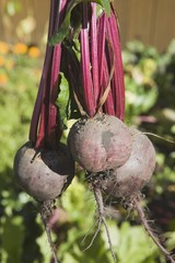Three Beets From The Garden
