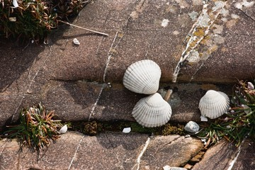 Clam Shells On A Rock