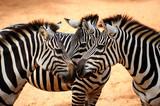 Fototapeta zwierzę - suchych - Dziki Ssak