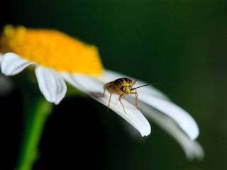 The bug pollinates a white camomile