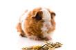baby guinea pig. texel