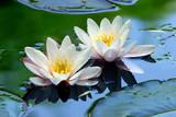 ninfea fiori 319