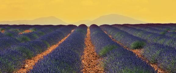 champs de lavandin