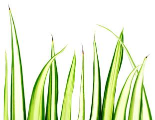 phalangère, chlorophytum, plante araignée, fond blanc