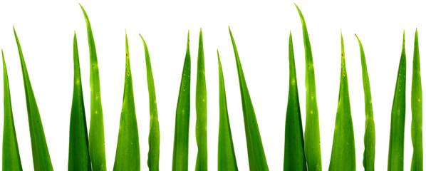 bouts de feuilles d'aloès, fond blanc