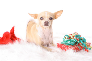 chihuahua in a stocking
