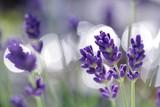 Fototapety lavendel blüten
