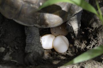 tartaruga depone uova