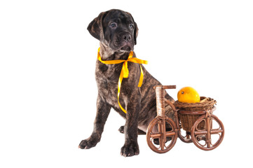 black puppy with a yellow ribbon