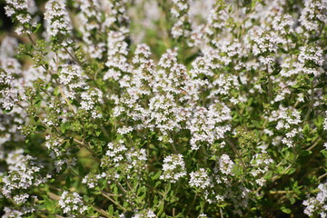Gartenthymian