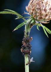 Ameisen melken Blattläuse an einer Flockenblume