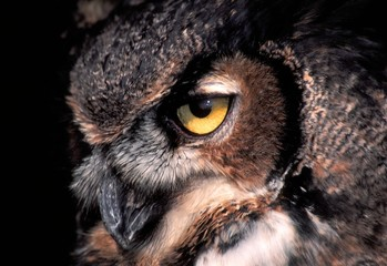 Gaze of the Great Horned Owl