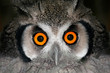 White-faced owl (Otis leucotis), South Africa