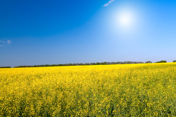 Wonderful  golden rapeseed field and fun sun.