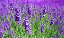 Herb Lavendel