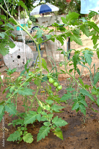 Young cherry tomato plants in home garden