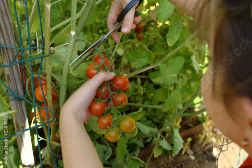 Picking mature organically grown cherry tomatoes at home garden