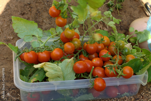 Home garden harvest of organic cherry tomatoes