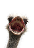 ostrich with open beak poster
