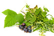 aromatic herbs with black currant