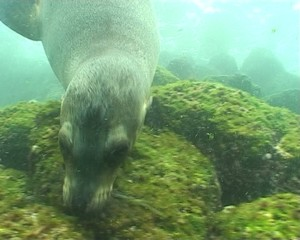 Sea lions underwater video Galapagos