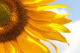 Fototapeta Yellow sunflower