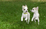 two chihuahua puppies running synchronously