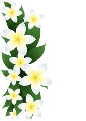 Vector illustration of frangipani flowers isolated on white