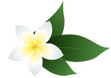 Vector illustration of frangipani with leaves