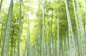 Bamboo forest, natural green background