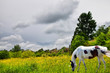 The white horse on the meadow