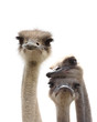 three funny ostrich heads isolated