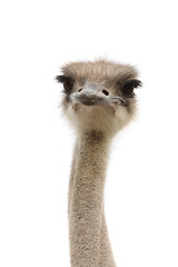 young female ostrich isolated