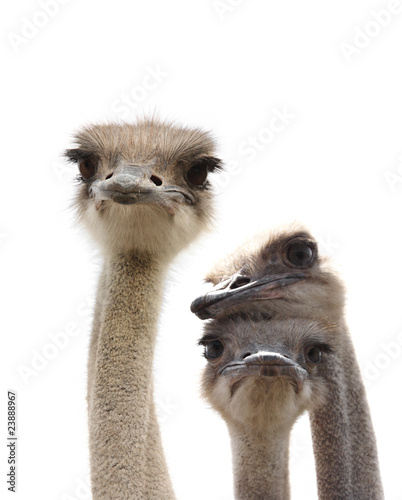 Foto op Aluminium Struisvogel three funny ostrich heads isolated