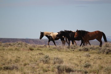 Wild Mustangs of McCullough Peak