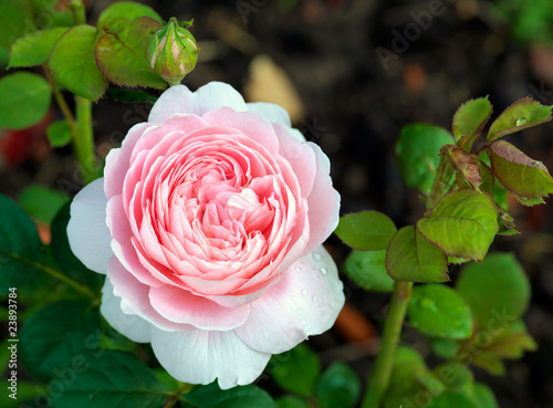 "Rose variety ""Queen of Sweden"""
