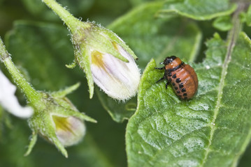 Larva del escarabajo de la patata.